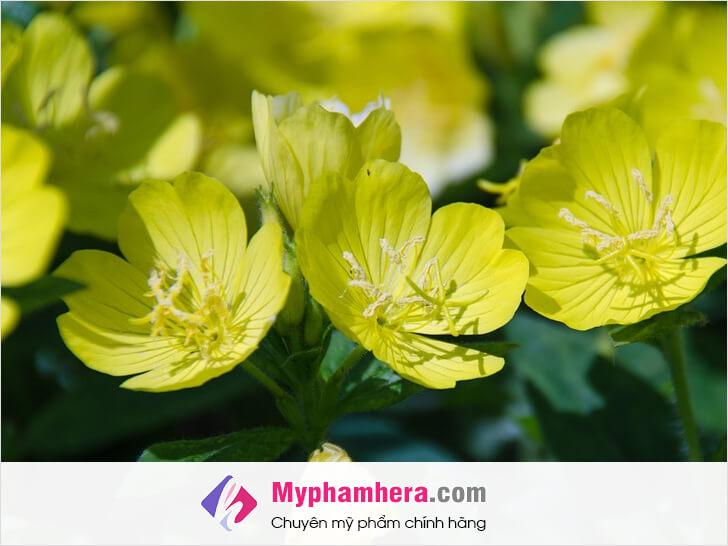 thành phần tinh dầu hoa anh thảo myphamhera.com