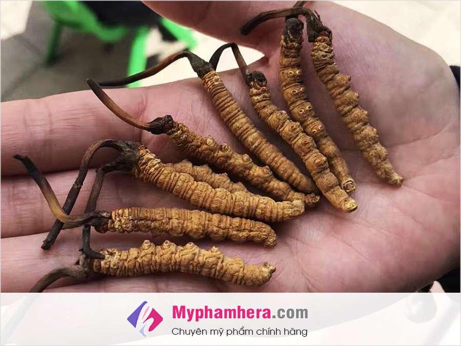 cách thu hoạch đông trùng linh chi trong tự nhiên myphamhera.com